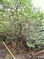 Ilex pedunculosa - Miyajima Natural Botanical Garden - DSC02375.JPG