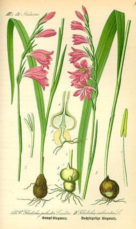 Illustration Gladiolus palustris0.jpg