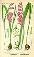 Illustration Gladiolus palustris0.jpg