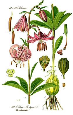 Illustration Lilium martagon0 clean.jpg