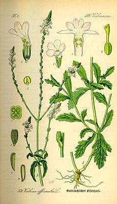 Eisenkraut (Verbena officinalis), Illustration