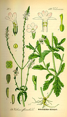 Echtes Eisenkraut (Verbena officinalis), Illustration.