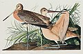 Illustration from Birds of America (1827) by John James Audubon, digitally enhanced by rawpixel-com 238.jpg