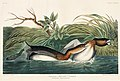 Illustration from Birds of America (1827) by John James Audubon, digitally enhanced by rawpixel-com 248.jpg