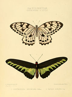 <i>Graphium idaeoides</i> species of insect