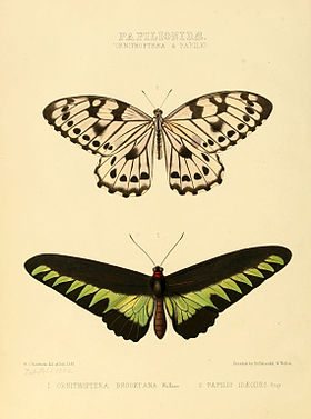 Illustrations of new species of exotic butterflies Ornithoptera & Papilio.jpg