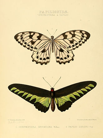 Trogonoptera brookiana - Image: Illustrations of new species of exotic butterflies Ornithoptera & Papilio