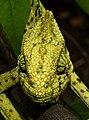 Indian Chameleon Chamaeleo zeylanicus by Dr. Raju Kasambe DSCN7134 (14).jpg