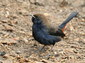Indian Robin I IMG 9752.jpg