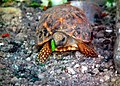 Indian star tortoise at Mysore Zoo.jpg
