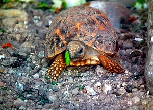 The Indian star tortoise (Geochelone elegans) ...