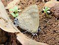 Indigo Flash Rapala varuna Matheran DSCF2046 (12). At Matheran, Raigad District Maharashtra India.JPG