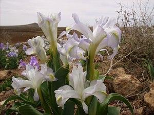 Iris aucheri - Image: Iris aucheri plant in Syria
