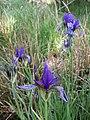 Iris sibirica sl17.jpg