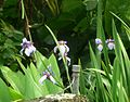 Iris sp. - Flickr - gailhampshire (1).jpg