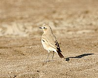 Isabelline Wheatear (Oenanthe isabellina) - male, non-breeding - Flickr - Lip Kee.jpg