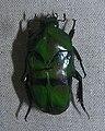 Ischiopsopha bifasciata.jpg