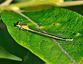 Ischnura elegans qtl11.jpg