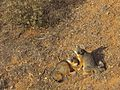 Island Fox (Urocyon littorals santacruzae) (11435208276).jpg