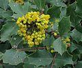 J20160310-0039—Berberis aquifolium var dictyota 'Shasta Blue'—RPBG (25798467545).jpg