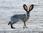 Jackrabbit2 crop.JPG