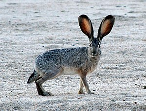 Black-tailed jackrabbit - Image: Jackrabbit 2 crop