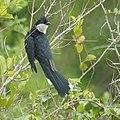 Jacobin Cuckoo (10554712734).jpg