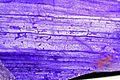 JadéiteItalieVal d'Aoste Don. Saussol Jadeite MuséumHistoireNaturelleLilleGLAM2016a3.jpg