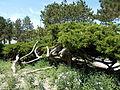 Japanese Garden. Twisting. - Margaret Island, Budapest, Hungary.JPG