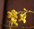 Jasminum nudiflorum DSC 6893.jpg