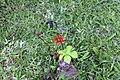 Jatropha podagrica 19zz.jpg
