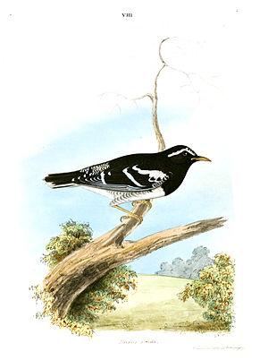 Pied thrush - Image: Jerdon Zoothera Wardii