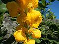 Jf2235Yellow Flowers Nicolas Philippinesfvf 04.JPG