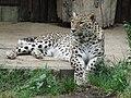 Jielbeaumadier leopard 1 madrid 2014.jpeg