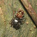 Jumping spider - do you see a baby doll face on his abdomen? (14725814458).jpg