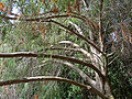 Juniperus cedrus (2012).jpg