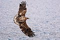 Juvenile white-tailed eagle.jpg