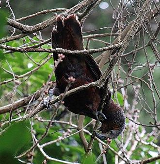 New Zealand kaka - Kaka feeding on tree buds in early spring, Wellington Botanic Gardens