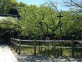 Kanhi-zakura Cherry Trees in Miyajidake Shrine.JPG