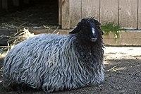 Karakul sheep in Akron Zoo.jpg