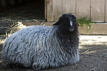 Karakul sheep in Akron Zoo.jpg