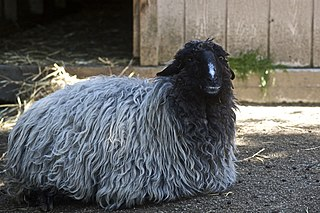 Karakul sheep sheep breed