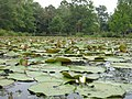 Kenilworth Aquatic Gardens (227398919).jpg