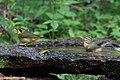Kentucky Warbler (male) & Worm-eating Warbler Fall Out 2 Sabine Woods TX 2018-04-09 14-17-30 (40795027604).jpg