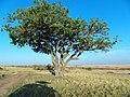Kenya Keekorok 2013 sept. Safari - panoramio (5).jpg