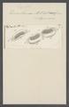 Kerona vannus - - Print - Iconographia Zoologica - Special Collections University of Amsterdam - UBAINV0274 113 17 0014.tif