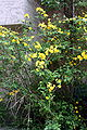 Kerria japonica.JPG
