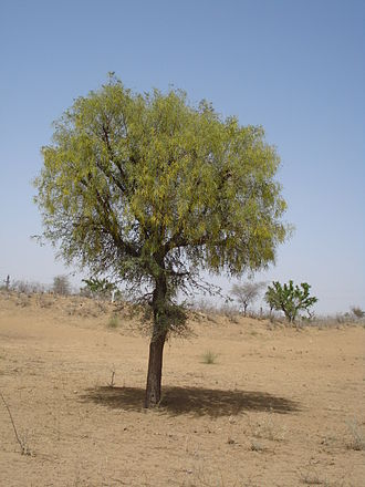 Arid Forest Research Institute - Prosopis cineraria or Khejri