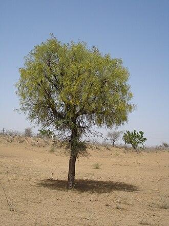 Prosopis cineraria - Image: Khejri