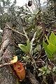 Kinabalu villosa plants 50.jpg